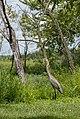 Ardea herodias in Heron Pond 2.jpg
