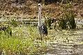 Ardea pacifica -Edithvale Wetland, Melbourne, Australia-8 (3).jpg