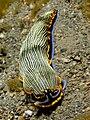 Armina sp. (Smiling armina nudibranch).jpg