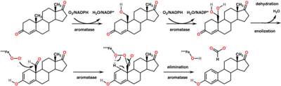 [Immagine: 400px-Aromatase_mechanism.png]