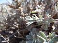 Artemisia bigelovii — Matt Lavin 015.jpg