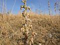 Artemisia frigida (3300474392).jpg