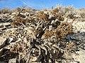 Artemisia pygmaea — Matt Lavin 011.jpg