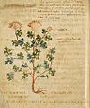 Artemisia tagantes Pseudo-Apuleius-a.jpg