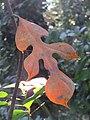 Artocarpus hirsutus leaf when the plant is young (3).jpg