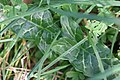 Arum italicum 105976624.jpg