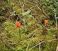 Arum maculatum 02 ies.jpg