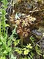 Aruncus dioicus, Carciato, Val di Sole 02.jpg