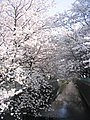 Asaogawa-Sakura.jpg
