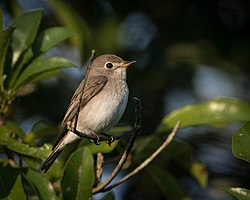 Asian Brown Flycatcher Thailand.jpg