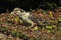 Asian Koel Eudynamys scolopaceus female by Dr. Raju Kasambe DSCN0755 (13).jpg