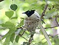Asian Paradise Flycatche- Male at nest in Himachal I2 IMG 3015.jpg