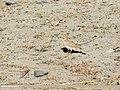Asian Short-toed Lark (Calandrella cheelensis) (31862902967).jpg