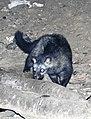 Asian or Common Palm Civet Paradoxurus hermaphroditus Chambal by Dr. Raju Kasambe (4).JPG