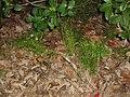 Asparagus aethiopicus 'Sprengeri' L. (AM AK226531-3).jpg