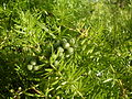 Asparagus fern with green berries (3152695606).jpg