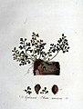 Asplenium ruta-muraria — Flora Batava — Volume v1.jpg