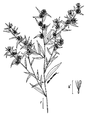 Aster lateriflorus.png