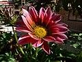 Asteraceae (2193022950).jpg