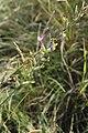 Astragalus pallescens 43516071.jpg