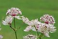 Astrantia major PID1194-1.jpg