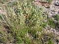 Atriplex confertifolia (3753465171).jpg