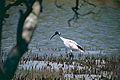Australian White Ibis (Threskiornis molucca) (9994834873).jpg