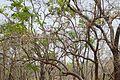 Bénin-Nauclea latifolia (4).jpg
