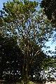 Búcaro (Erythrina fusca) (14428864653).jpg