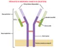 B-cell receptor structure ku.png