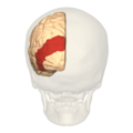 BA19 - Visual association cortex (V3) - posterior view.png