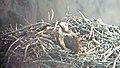 Baby Osprey - panoramio.jpg