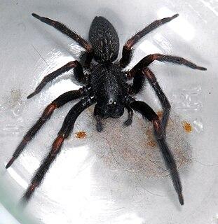 <i>Badumna</i> Genus of spiders
