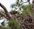 Bald eagle pair in nest (cropped).jpg