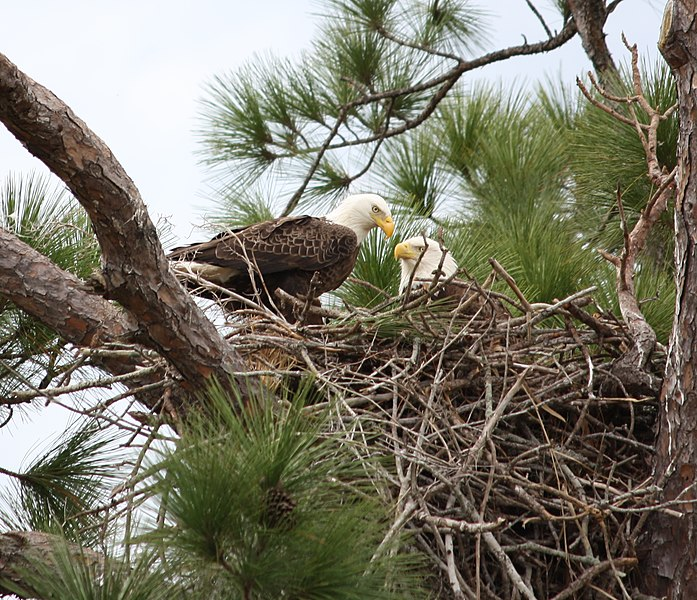 File:Bald eagle pair in nest (cropped).jpg