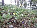 Balsamorhiza sagittata (5385191190).jpg