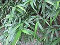 Bamboo - മുള 02.JPG