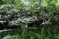 Bambusoideae S kurilensis JP chisimazasa 02.jpg