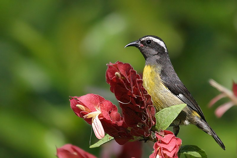 Bananaquit on Flower
