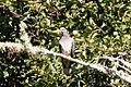 Band-tailed Pigeon Muddy Hollow Marin CA 2018-09-24 10-51-56 (45723015101).jpg