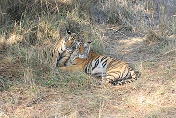 Bandhavgarh- Tiger and cub.jpg