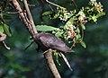 Bangl's Common Hawk Cuckoo.jpg
