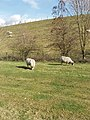 Bank of King George VI Reservoir, with sheep - geograph.org.uk - 131642.jpg