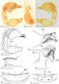 Bannana crassispina genitalia.jpg