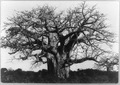 Baobab tree, Africa LCCN92519159.tif