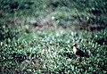 Bar-tailed Godwit - DPLA - 97a3ef87d9a7e9186b4b883cee2dbff1.jpg