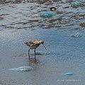 Bar-tailed godwit tidal strand Sandgate Bramble Bay Queensland P1090358.jpg