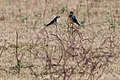Barn Swallow (30407357256).jpg
