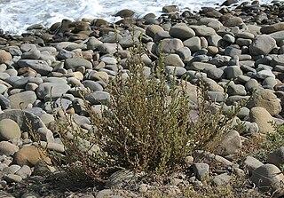 <i>Bassia hyssopifolia</i> species of plant