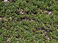 Bearberry at Marconi (Wellfleet, MA).jpg